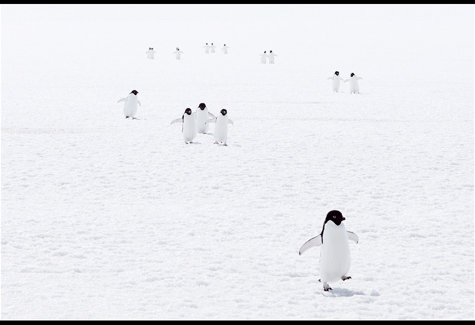 Adélie Penguins Walking Back From a Hunt