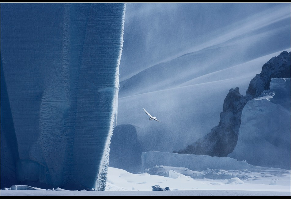Snow Petrel, Iceberg and Volcanic Cliffs