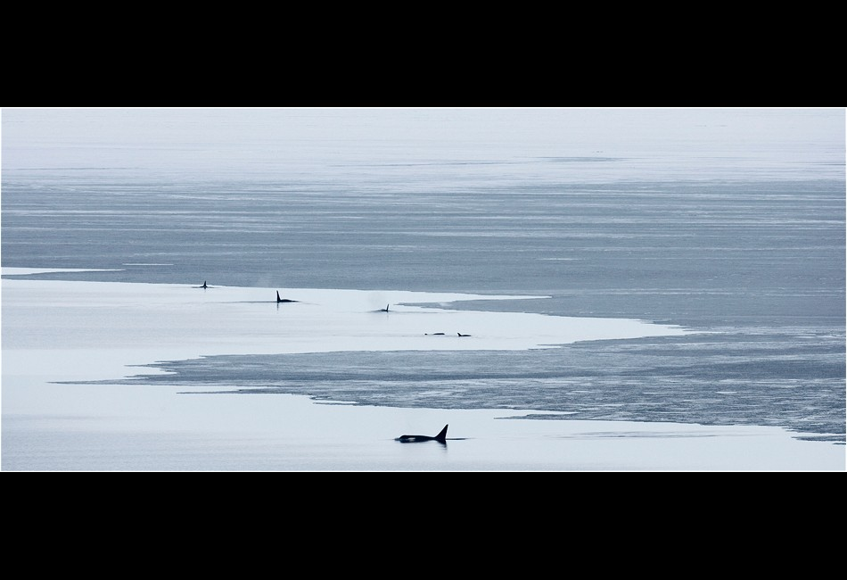Pod of Killer Whales in Cape Royds Polynya