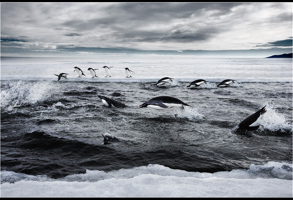 Adélie Penguins Hunting