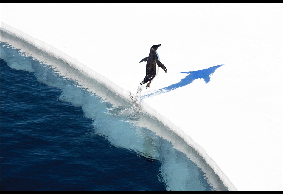 Adélie Penguin Breaching onto the Ice